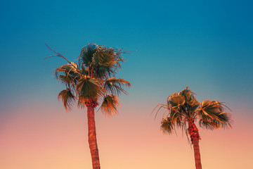 Tropical palm trees against the sunset sky. Gradient color. Silhouette of tall palm trees. Tropical evening landscape.