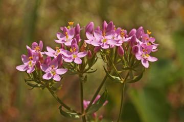 Blüten des Echten Tausendgüldenkrauts, Centaurium erythraea (Common Centaury)