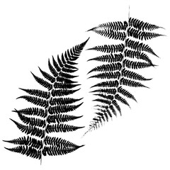 Silhouettes of a fern. Black on white background. Vector illustration.