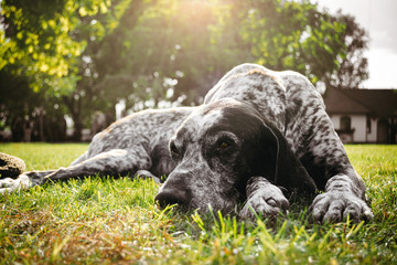 brown dog lying alone on grass waiting for owner, hunting gun dog
