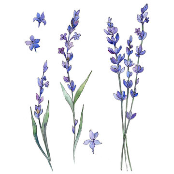 Wildflower lavander flower in a watercolor style isolated. Full name of the plant: lavander. Aquarelle wild flower for background, texture, wrapper pattern, frame or border.