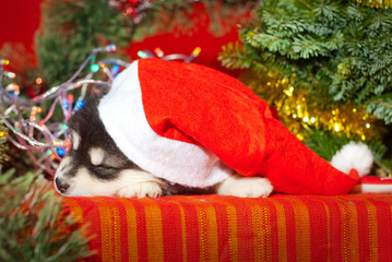 Puppy sitting on a red background in a Santa Claus hat