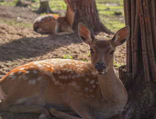 Spotted deer close-up