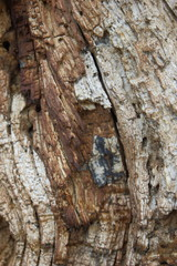 Texture of the bark of the old tree for the designer