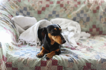 Adorable small black dachshund lying on the couch