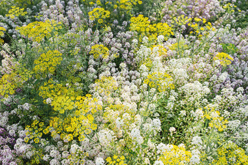 Alyssum and  and flowering dill plant