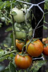 Home-grown organic tomatoes