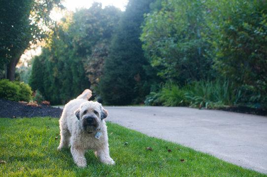 A dog guarding his front yard