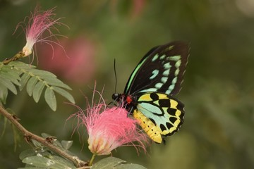 Teal Butterfly on Pink Flower