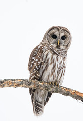 Zelfklevend Fotobehang Uil Barred owl perched on a branch in winter looking at viewer
