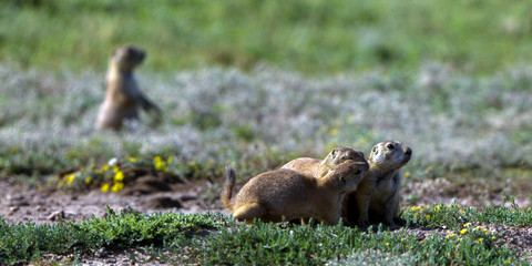 "Four Black-tailed Prairie Dogs in their ""town"" in Wichita Mountains Wildlife Refuge in Oklahoma"