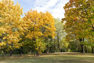 yellowed maple trees in autumn