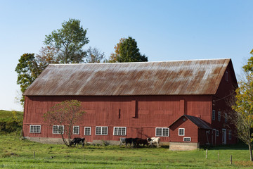 A large, old red barn seen in profile with blue sky above, green grassy pasture in the foreground and dairy cows next to the barn. Photographed in natural light.