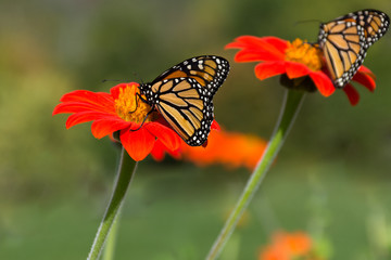 Monarch butterflies feeding on the pollen of bright orange gerbera daisies. Photographed with shallow depth of field in natural light.