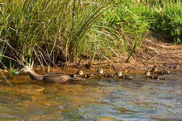 Pacific Black Duck with five ducklings in water