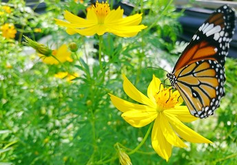 A Monarch Butterfly perched on a yellow flower in the garden