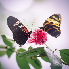 Two Red and Yellow Butterflies on Flower in Abstract Background