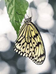 Yellow Butterfly Hanging on Green Leaf with Abstract Background
