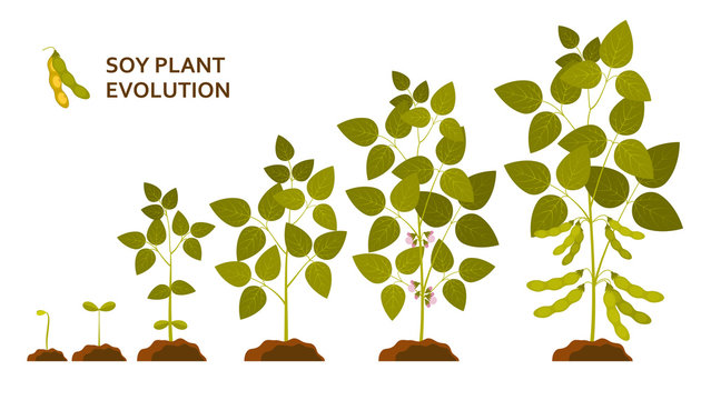 Soy plant evolution with leaves, flowers and pods. Vector illustration.