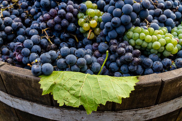 Grapes in a barrel after harvesting