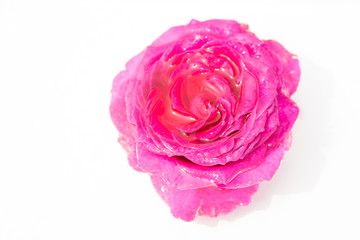 Rose flower. White background.