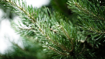 Green prickly branches of a fur-tree or pine. Nice fir branches. Close up. Bright evergreen fresh pine tree green needles branches. New fir-tree needles, conifer