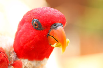 Parrot with red head feathers. Exotic bird eats fresh apple fruit. Creative portrait cropping