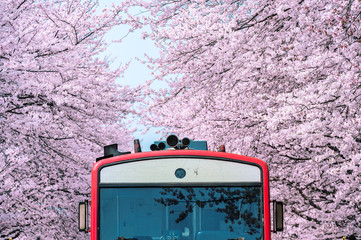 Wall Mural - Cherry blossom or Sakura and trian in spring at Jinhae, South Korea.