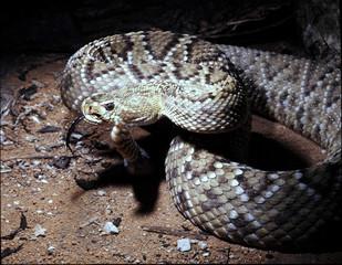 Mexican west coast rattlesnake, Crotalus basiliscus, explore the language of the neighborhood