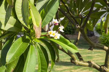 Blooming white plumeria flowers among foliage