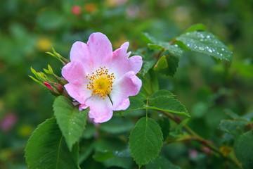 Dog Rose blossoms Rosa canina