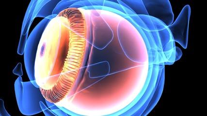 3d illustration of human body eye anatomy