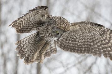 great grey owl in winter