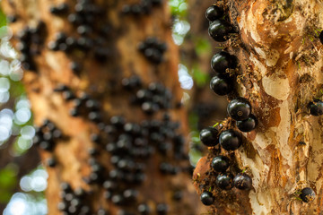 Jaboticaba brazilian tree with a lot of full-blown fruits on trunk
