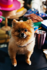 a pomeranian dog on table