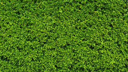 Nature green leaf background and textured, Leaves wall at car parking for background panorama