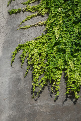 Green grape vine clinging to a grey stone wall