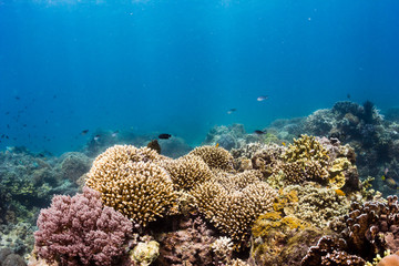 A thriving, healthy tropical coral reef