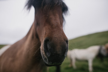 Wild Icelandic horses on green hill pasture
