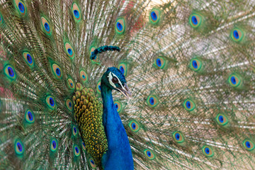 Colorful 'Blue Ribbon' Peacock in full feather