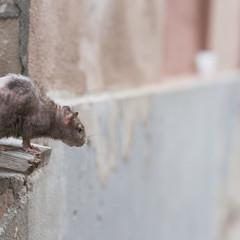 Brown rat in town