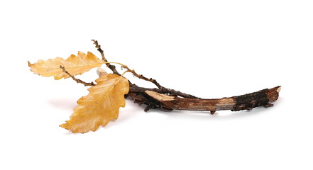 Dry oak branch and yellow, orange leaves isolated on white background