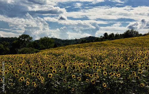 Paesaggio con campo di girasoli\