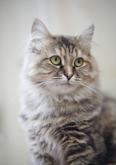 Portrait of a beautiful fluffy cat with green eyes