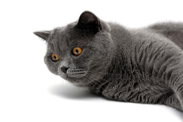gray cat with yellow eyes lies on a white background