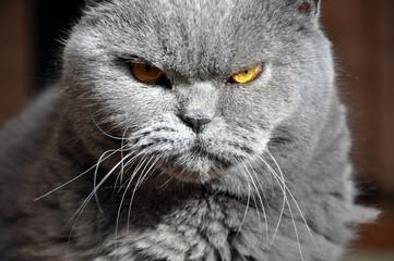 Photo sur Toile Croquis dessinés à la main des animaux Portrait of British Short hair blue cat with yellow eyes. Resentful look, contrast light.