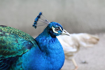 Beautiful Peacock Walking on a Petting Zoo. Selective Focus
