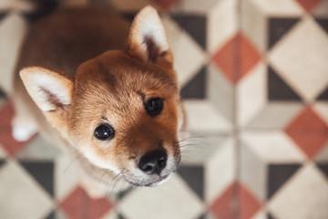 Portrait of a 3 month shiba ini puppy
