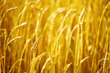 Field of wheat at autumn. Rural landscape. Rich harvest concept