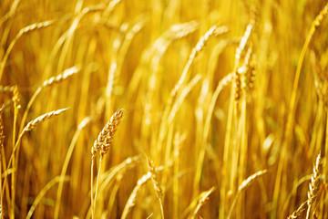 Field of wheat at autumn. Rural landscape. Rich harvest concept